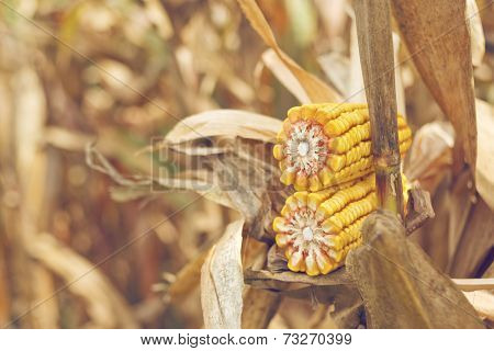 Ripe Maize Corn On The Cob