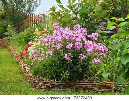 Ideas For Garden - Phlox Paniculata In Bloom