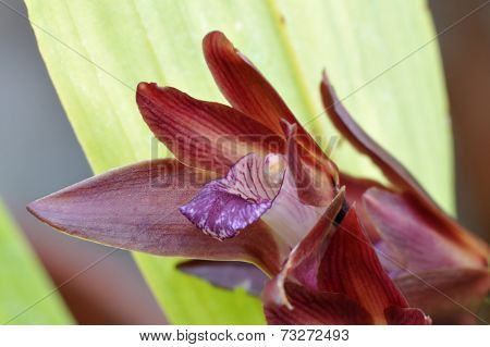 Black-purple Bifernaria Orchid