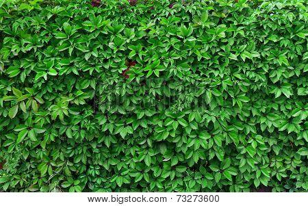 Ideas For Garden - Green Ivy Background