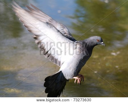 Wood Pigeon, Columba Palumbus, Single Bird In Flight Under Water