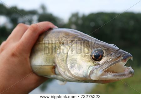 Caught Zander In ? Hand Of A Fisherman
