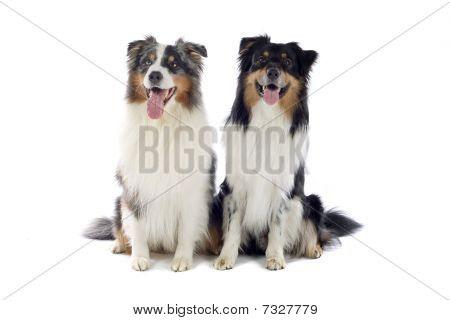 perros de Pastor australianos