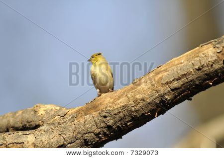American Goldfinch: Spinus tristis