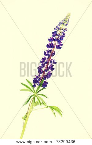 Garden lupine, isolated on white