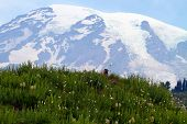 picture of marmot  - Marmot looking on a meadow field with Mount Rainier in the background - JPG