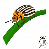 picture of potato bug  - Colorado potato beetle sits on a stalk - JPG