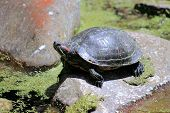 pic of terrapin turtle  - The red - JPG