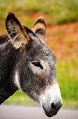 foto of burro  - Closeup of a gray burro at Custer State Park South Dakota - JPG