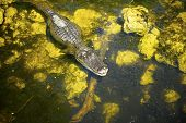 foto of alligator  - An alligator floating in the swamp at Florida - JPG