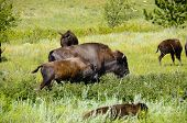pic of female buffalo  - A herd of buffalo at Custer State Park South Dakota - JPG