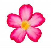 picture of desert-rose  - Desert Rose  - JPG
