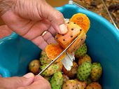 foto of prickly pears  - cutting open a prickly pear fruit - JPG