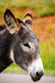 picture of burro  - Closeup of a gray burro at Custer State Park South Dakota - JPG