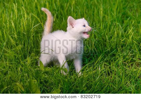 white small kitten opened his mouth showing teeth meows green gr