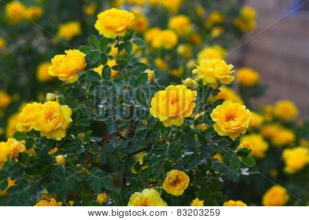 yellow rose briar bush flowers nature wallpaper