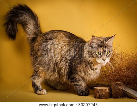 tabby maine coon cat on yellow  background