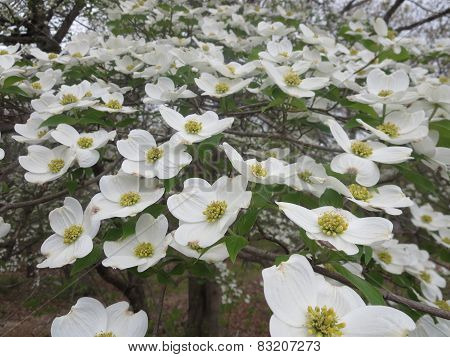 Spring Blooming Dogwood