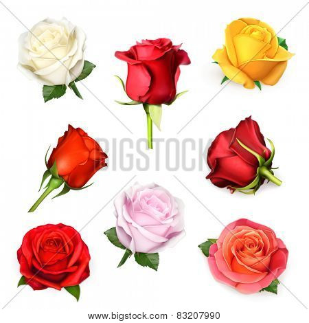White rose, vector illustration