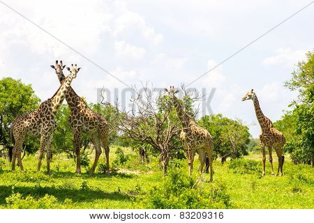 Group Of Giraffes In The Grass