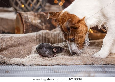 Brown Domestic Rat And Dogs Jack Russell Terrier