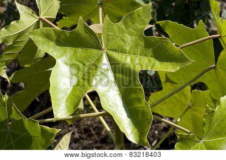 Kukui Tree Leaf