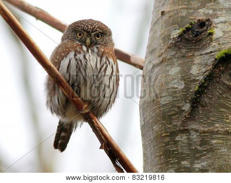Northern Pygmy-Owl Stare