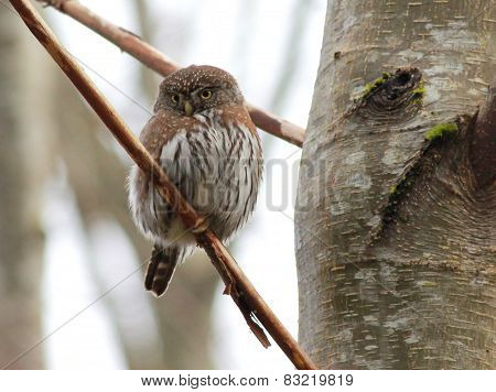 Shy Northern Pygmy-Owl