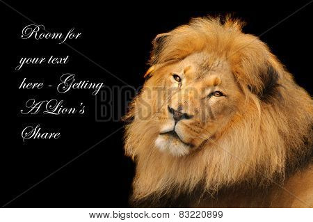 Male lion resting over a black background with space for your text - Lion's share for example