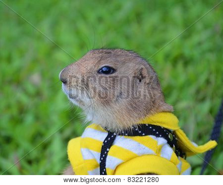 Prairie Dog On Lawn In Summer
