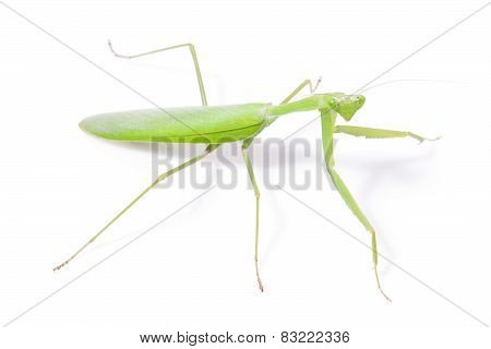 Green mantis isolated