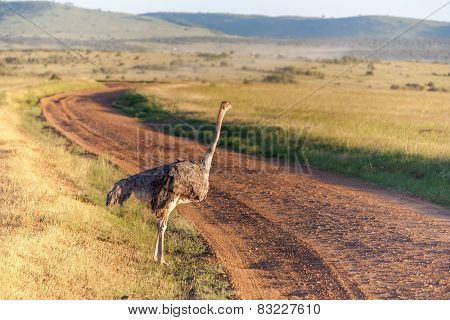 Ostrich  Walking On Savanna In Africa. Safari. Kenya