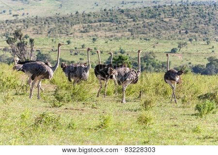 Ostriches  Walking On Savanna In Africa. Safari. Kenya