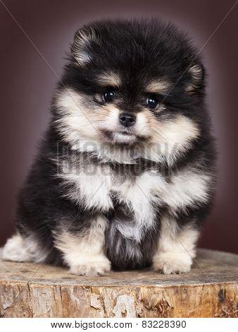 German Spitz puppy on a black background