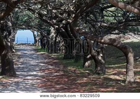 Calvary Avenue Of Trees At Ialyssos