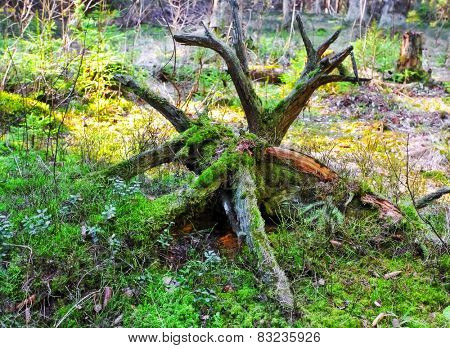 Old tree snag with moss in forest