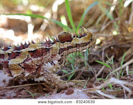 Thorny devil, Australia