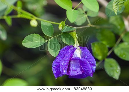 Butterfly pea flower medicinal herbs to treat disease and certain types of food coloring to make pur