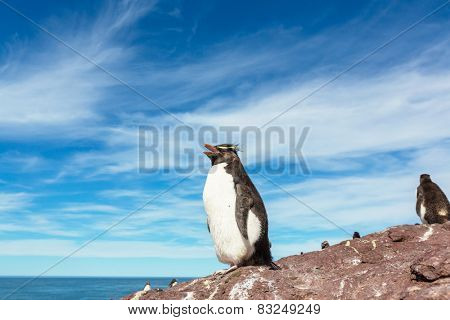 Rockhopper penguin in Argentina