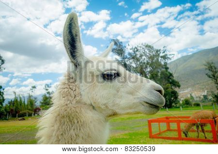 closeup portrait of cute llama