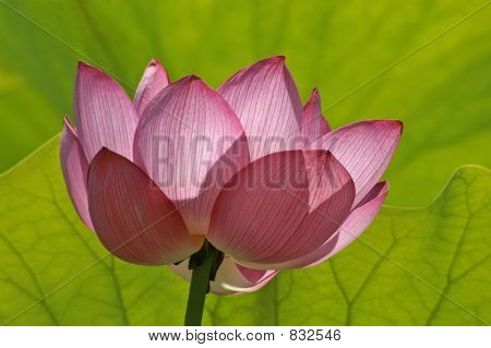 Lotus Flower Pink and Green