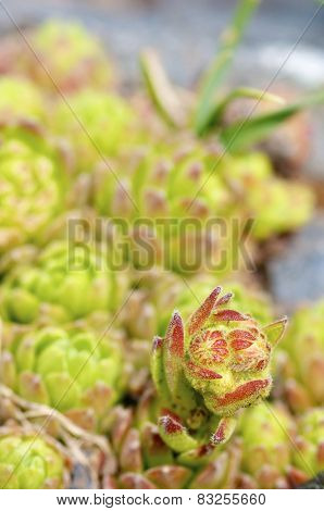 foreground of a mountain flower, named Sempervivum montanum, Canal  Roya, Pyrenees, Huesca, Aragon, Spain