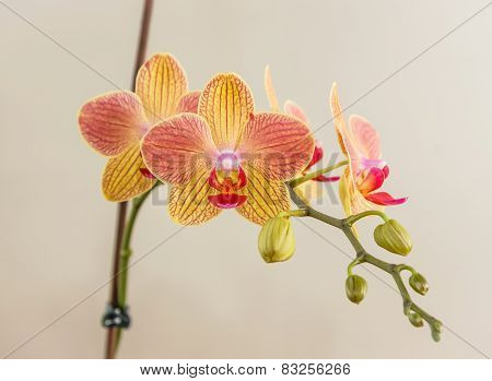 Pink - Yellow Phalaenopsis