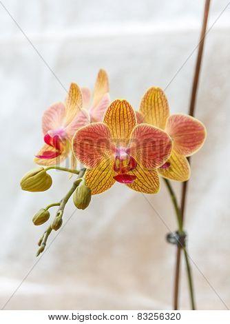 Pink And Yellow Phalaenopsis