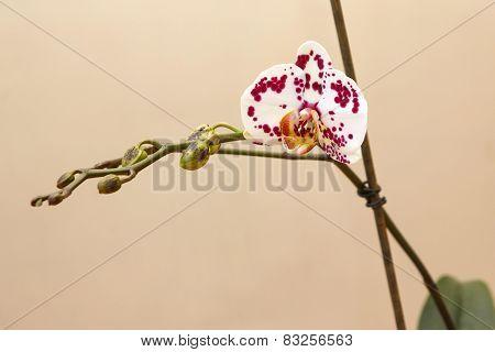 Spotted White Phalaenopsis