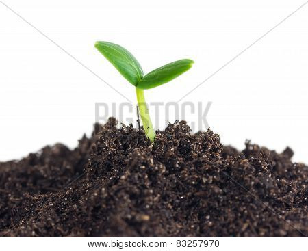 Small Cucumber Seedling In Soil
