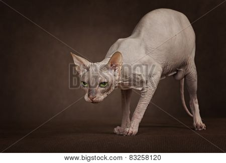 The Cat Of Don Sphinx Breed