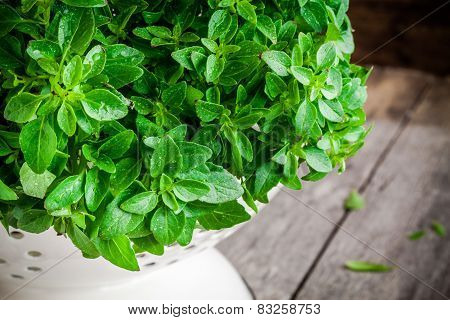 Fresh Organic Basil In White Colander With Drops Closeup
