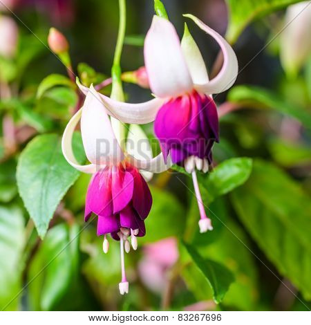 Beautiful Red And White Fuchsia Flower On The Nature Green Background, `mood Indigo`, Closeup