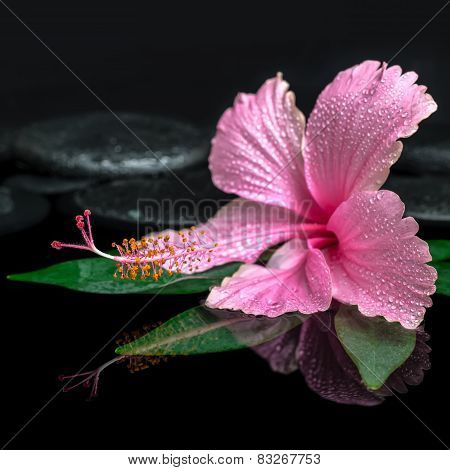 Spa Concept Of Pink Hibiscus Flower On Green Leaf, Zen Basalt Stones With Drops In Water, Closeup